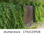 Wall Of Green Ivy. Hedera...