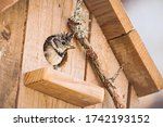 Chickadee In Nest Box   Great...