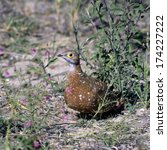 Small photo of a Burcell's Sandgrouse taken in etosha national park