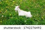 White Goat...