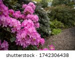 Blooming Rhododendron Bush ...