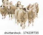 Herd Of Sheep Isolated On Whit...
