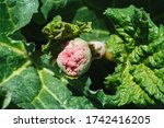 The Plant Rhapontic Rhubarb ...