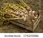 garlic harvest in wooden box   Shutterstock . vector #174243086