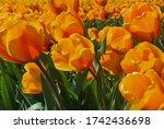 Beautiful Colorful Tulip Field...