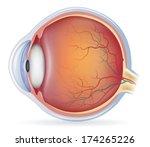 Human Eye Anatomy  Detailed...