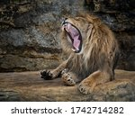 Lying Lion With Open Mouth  ...