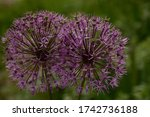 Two Blooming Ornamental Allium...