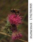 A Bumblebee Feeding With Nectar