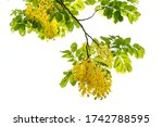 yellow flower of golden shower  ... | Shutterstock . vector #1742788595