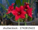 Red Amaryllis Flower Blooming...