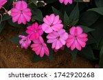 Impatiens New Guinea Flower...