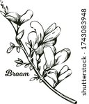 Broom Flower  Dyers Greenwood ...