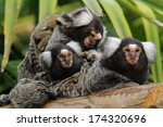 Marmoset Family   A Small Grou...