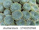 A Group Of Succulent Plants...