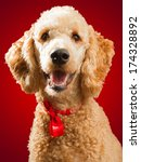 Happy Standard Poodle In...