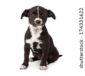 Stock photo sad eight week old black and white puppy sitting looking at the camera isolated on white background 174331622