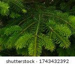 pine branch with fresh bright... | Shutterstock . vector #1743432392