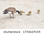 Family Of Geese At The Beach
