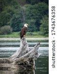 A Bald Eagle Perches Upon...