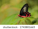 Red Butterfly. Antrophaneura...