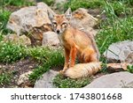 Corsac Fox  Vulpes Corsac  In...
