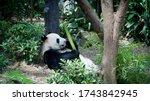 Panda Having A Bamboo Snack