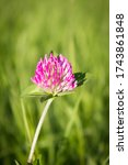 Beautiful Clover Flower On A...