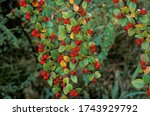 Rockspray Cotoneaster With...