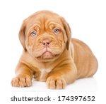 Bordeaux Puppy Dog Lying In...