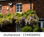 Wisteria Growing On A Old House