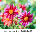 dahlia flower for background | Shutterstock . vector #174404432