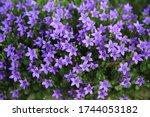Beautiful Blooming Bell Flower...