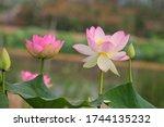 Two  Beautiful Sacred Lotus...