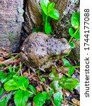 The Common Frog  Rana...