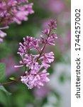 Lilac Flowers  Lilac Bush ...