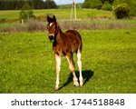 A Young Thoroughbred Brown Foal ...
