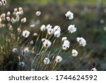Cotton Grass At The Sunset ...