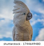 Portrait Of A Sulfur Crested...
