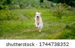 Nice Golden Retriever Dog...