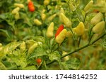 Red And Yellow Colour Chillies...