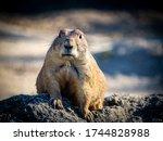 Standing Prairie Dog Face...