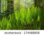fern bush in a forest | Shutterstock . vector #174488858