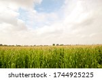 Cornfield  Silage. Closeup Of...
