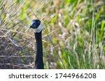 A Close Up Of An Adult Goose...