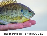 panfish caught on Beaton