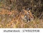 The Royal Bengal Tigers At...