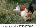 A Rooster Walking In The...
