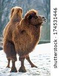 Bactrian Camel Walks In The Snow