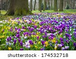 Crocuses And Narcissus In The...